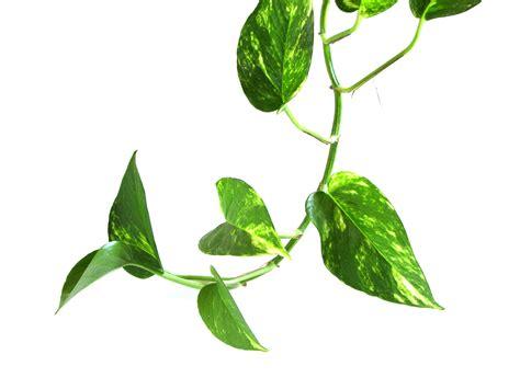 file epipremnum aureum vine jpg wikipedia