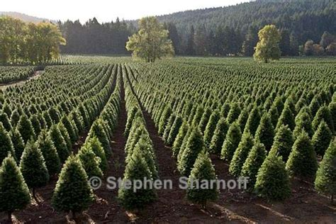 christmas tree farm in oregon tree farm