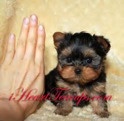 hair cut for tea cup yorkies hair cut for tea cup yorkies apexwallpapers com
