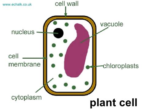 plant cell diagram for 5th grade diagram of plant cell 5th grade images how to guide and