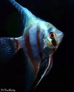 Red Freshwater Angelfish Angelfish for sale at