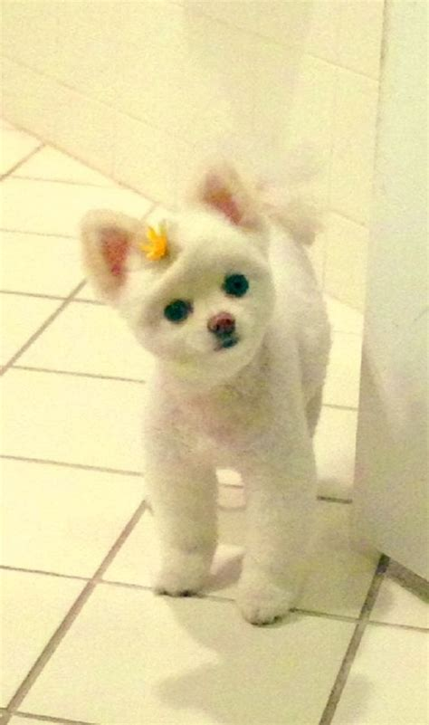 clipped pomeranian for sale teddy pomeranian fans and on