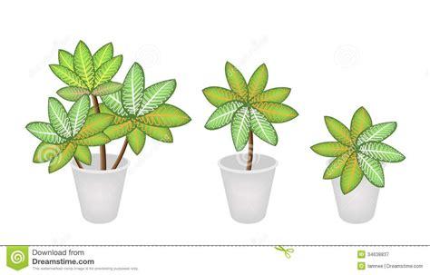 garden decoration concept dieffenbachia picta marianne plants in three flowe royalty