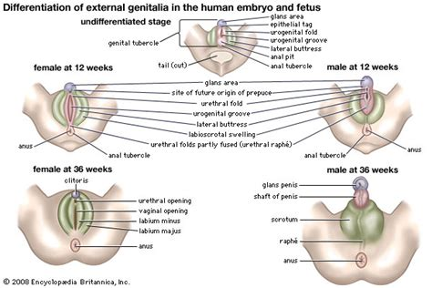 external female reproductive system diagram are the clitoris and penis the same thing girlsaskguys