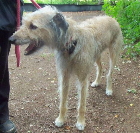lurcher puppies rescue alfie lurcher peterborough cambridgeshire pets4homes