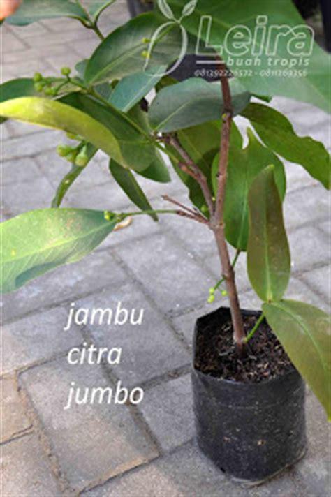 Bibit Okulasi Cempedak Aroma Durian Type A ragam bibit tanaman buah unggul leira buah tropis