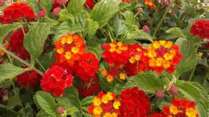 lantana colors foliage texture small ovate scabrous leaves with serrate