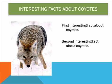 facts about coyotes for kids 100 coyote facts newhairstylesformen2014 com