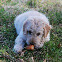 alimentazione casalinga per cani alimentazione casalinga per cani gli errori da evitare
