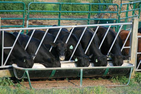 grass fed black angus beef all gmo free corn
