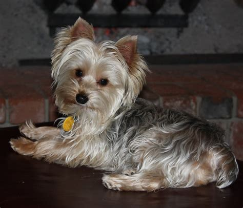 blumoon yorkies yorkie power parti color yorkies http www yorkiepower yorkie breeders