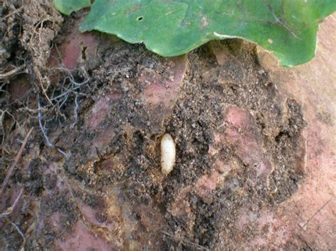 cabbage root maggots how to identify and get rid of garden pests the old farmer s almanac