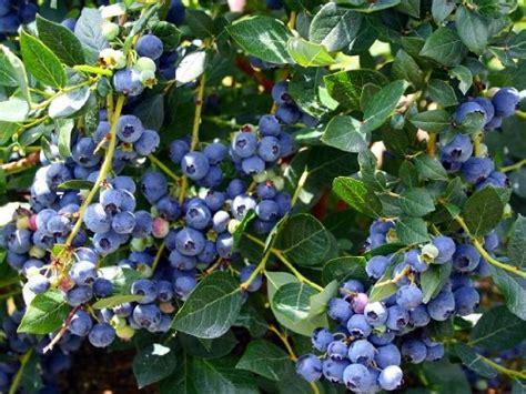 Patio Blueberry Bush by Hirt S Top Hat Blueberry Plant Bonsai Patio