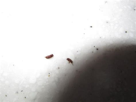 Tiny Beetles On Windowsill tiny reddish bugs on window sill