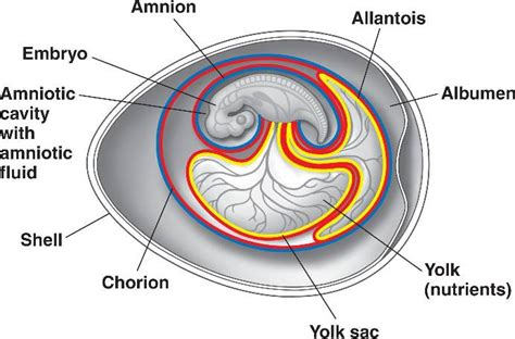 diagram of an amniotic egg amniotic html 47 17extraembryonmembrane jpg