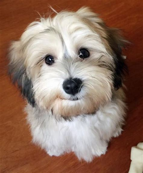 havanese puppy biting 10 best images about havanese haircuts on spaniels bearded collie and