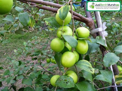Bibit Buah Apel Merah apel india buah putsa jualbenihmurah