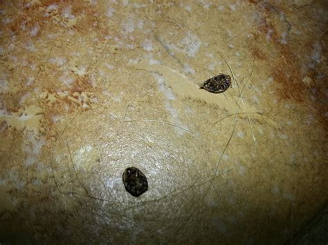 bed bug casing bed bug shells casings 28 images bed bug casings after