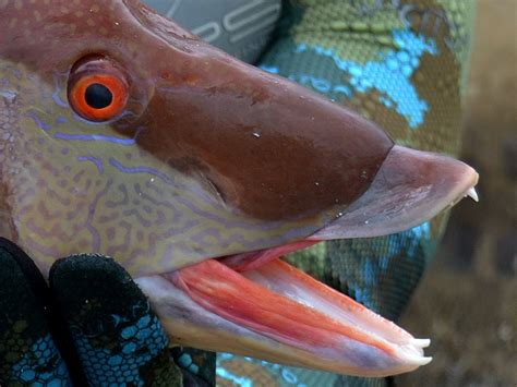 hogfish images 1000 images about hogfish on