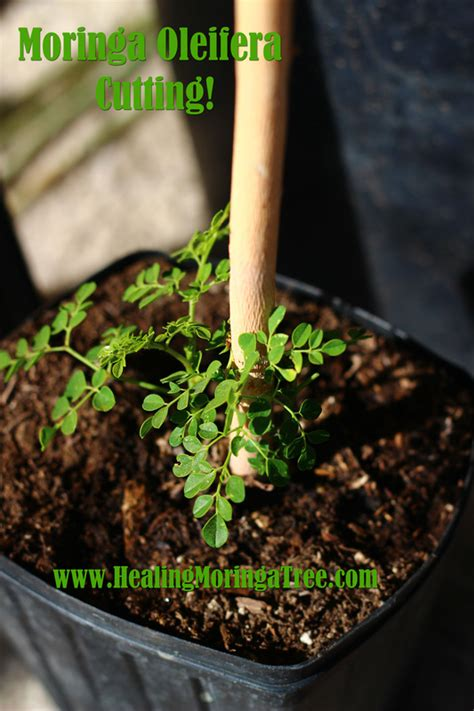 buy moringa tree species organic moringa trees moringa