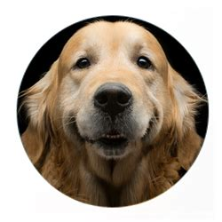 sooner golden retriever rescue sooner golden retriever rescue dedicated to finding homes for goldens in need
