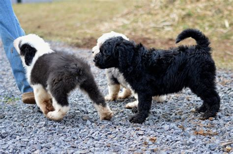 sheepadoodle puppies available now sheepadoodles for sale in virginia breeds picture