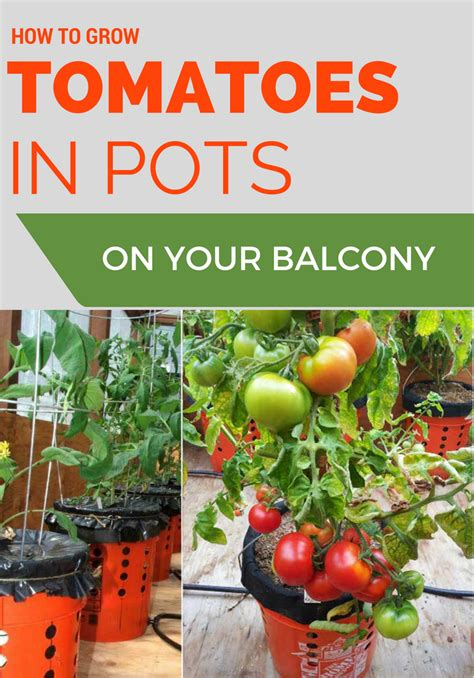 how to grow tomatoes in pots on your balcony 101gardentips com