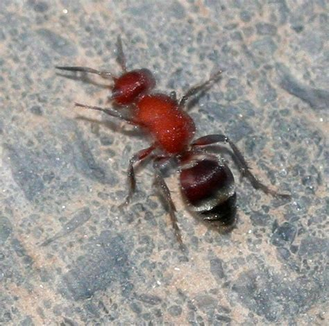 Pajangan Terbaru Velvet Carpet 250200 large black ants ant and black striped ants gambar kata oke terbaru puredefense