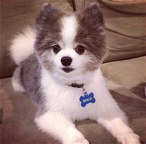half husky half pomeranian dogs the pomsky the the facade
