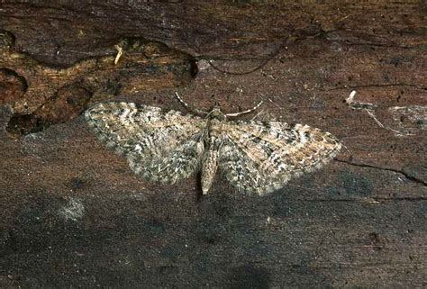 common pug names common pug eupithecia vulgata ukmoths