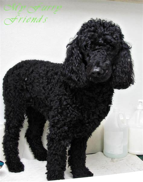 curly haired dog haircuts dog curly hair best curly hair 2017
