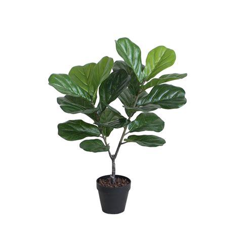 fiddle fig tree fiddle leaf fig tree 70cm with basic black pot