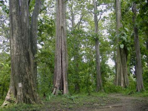 tips dan informasi seputar budidaya pohon jati tips ukm