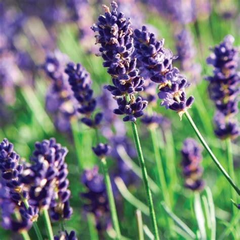is lavender a perennial munstead lavender herb perennial fresh garden decor