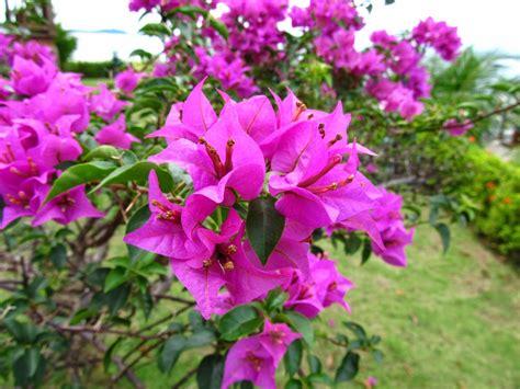 manfaat khasiat bunga kembang kertas  bugenvil