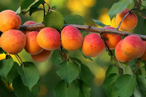 fruit fast the five easiest fruit trees to grow the garden