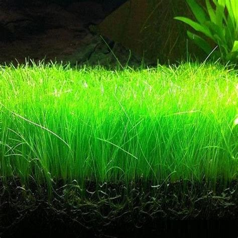 Eleocharis Parvula (Dwarf Hairgrass) ? Shrimp Stop