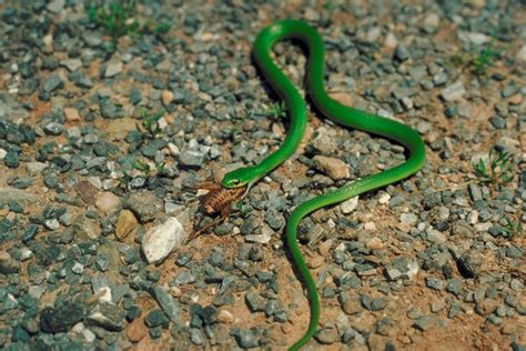 Garden Snake Diet Smooth Green Snake Facts And Pictures Reptile Fact