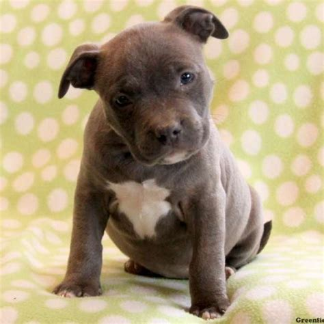 american bull puppy american bully puppies for sale in pa greenfield puppies