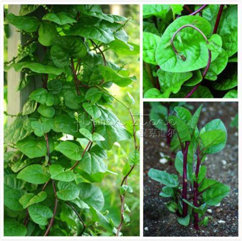 buy  malabar spinach vine seeds