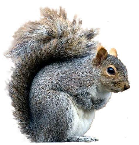 squirrel clip grey squirrel clipart clipground
