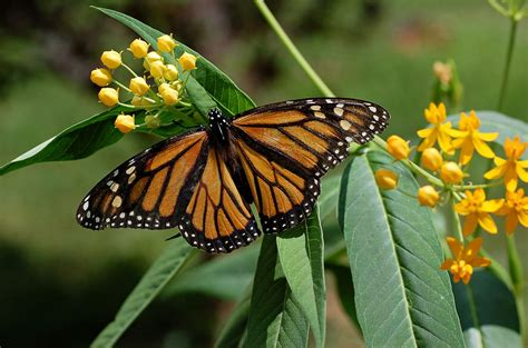The Monarch Butterfly monarch butterfly simple the free