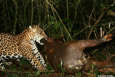 what food do jaguars eat and big cat interactions in the