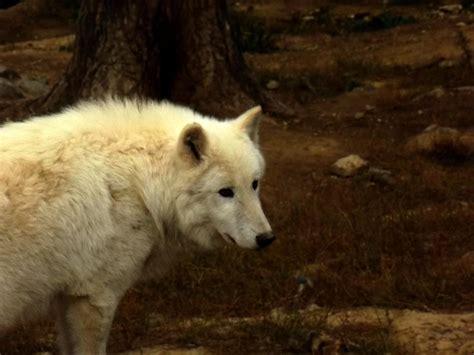 Mainan Boneka Robot Anjing Lovely Animal serigala putih hewan wallpaper dalam resolusi tinggi serigala berbulu domba reverbnation gambar