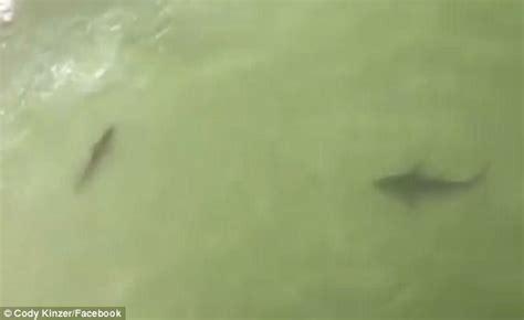 sharks swim alarmingly close   beach  south carolina