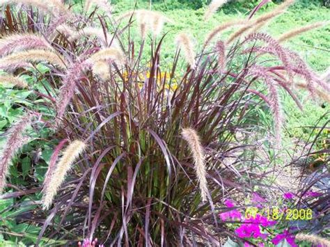 ky garden flowers pachysandra to pennisetum