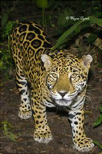Tropical Rainforest Jaguar Dr Wayne Lynch Canada S Wildlife Specialist