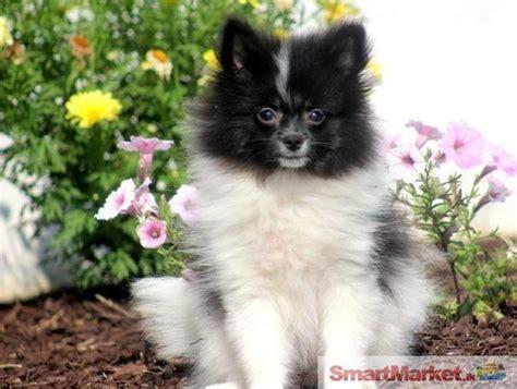 pomeranian puppies for sale in sri lanka pomeranian puppies animals pets sri lanka lankabuysell