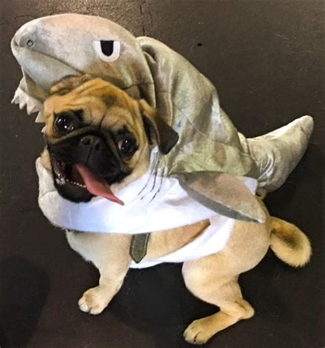 pugs are the best photos from the best just for pugs talent hounds