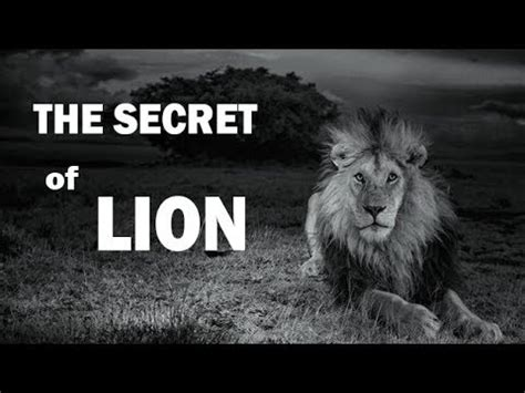 lion film national geographic national geographic lion animal planet documentary